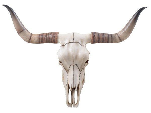 Longhornschädel